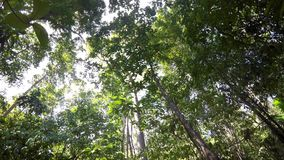 树在雨forrest北部苏拉威西岛,印度尼西亚中冠上 影视素材