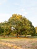 树在领域背景中晒黑浅绿色的俏丽的自然 库存照片