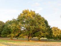 树在领域背景中晒黑浅绿色的俏丽的自然 免版税图库摄影
