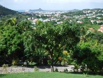 树在巴巴多斯 库存照片