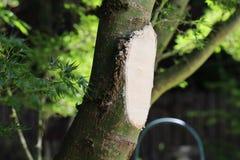 树在整理受伤分支以后 免版税库存照片