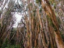 树在Arrayanes公园 巴里洛切阿根廷 免版税图库摄影
