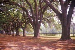 树在Boone霍尔种植园,查尔斯顿, SC排行了路 库存照片