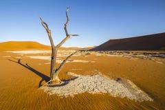 树在Deadvlei或者死的Vlei,在Sossusvlei, Namib纳乌的 库存照片