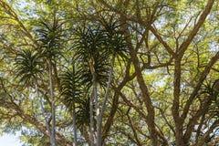树在Kirstenbosch植物园,开普敦里 免版税库存照片