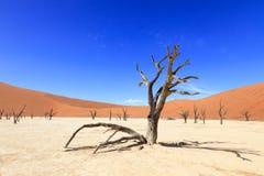 树在Sossusvlei的纳米比亚沙漠 免版税库存照片