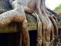 树在Ta Prohm寺庙,吴哥窟,暹粒,柬埔寨根源 免版税库存图片