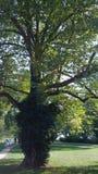 树在Tugendhat庭院里  库存照片