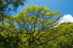 树场面在有蓝天的毛伊 库存照片