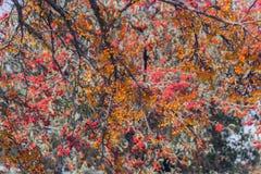 树填装了对溢出用微小的橙色和红色莓果  库存照片