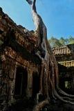 树增长在寺庙废墟在吴哥窟,柬埔寨 图库摄影