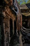 树增长在寺庙废墟在吴哥窟,柬埔寨 库存图片