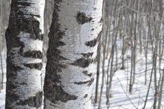 树多数白杨树  免版税库存照片