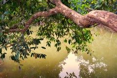 树大分支倾斜在水 免版税库存图片
