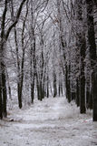 树大道在雪的在冬天 图库摄影