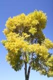 树天空,黄色蓝色植物秋季自然离开 库存图片