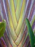树头梭扇叶树头榈棕榈树的叶子 库存图片