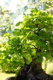 椴树属cordata作为一棵小盆景树 免版税库存照片