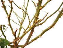 树干上升了与刺 免版税库存图片