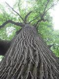 树干上升 库存图片