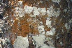 树干作为自然本底的细节纹理 吠声树纹理墙纸 免版税库存图片