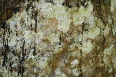 树干作为自然本底的细节纹理 吠声树纹理墙纸 库存照片