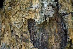树干作为自然本底的细节纹理 吠声树纹理墙纸 库存图片