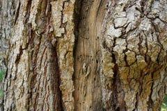 树干作为自然本底的细节纹理 吠声树纹理墙纸 免版税库存照片