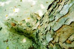 树干和吠声 免版税库存照片