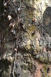 树干和干燥常春藤 库存照片