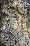 树干和干燥常春藤 库存图片