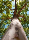 树干和美国梧桐的上面。 库存照片