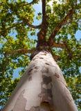 树干和美国梧桐的顶层。 免版税库存照片