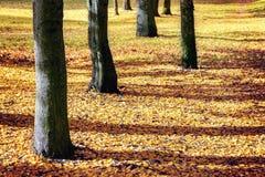 树干和黄色叶子秋天 免版税库存照片