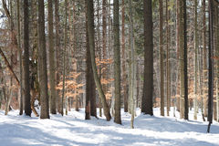 树干在冬天杉木森林里 免版税库存照片