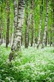 树干在桦树森林和野花里 免版税库存图片