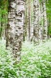树干在桦树森林和野花里 免版税库存照片