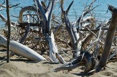 树干在海边 库存图片