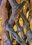 树干型热带树 免版税库存图片