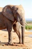 树干定期的非洲人布什大象 库存照片