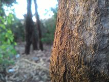 树干日落点击 免版税库存照片