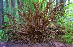 绕树干根,自然地艺术性 图库摄影