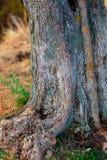 树干橄榄树背景和根  Defocused纹理w 库存照片