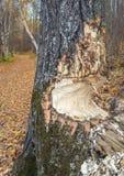 树干由海狸,阿尔伯塔,加拿大通过部分地嚼了 库存图片