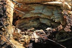 树干的里面腐烂的桦树31032 免版税库存照片