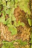 树干纹理 免版税库存照片