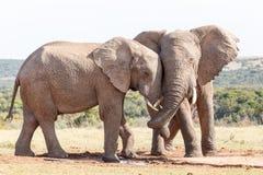 树干转弯-非洲人布什大象 免版税库存图片