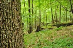 树干细节与被弄脏的森林的在背景中 库存图片