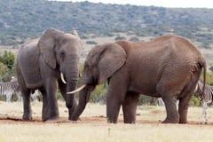 树干-非洲人布什大象 免版税库存图片