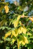 树年轻小树枝与第一染黄的在秋天森林离开 免版税图库摄影